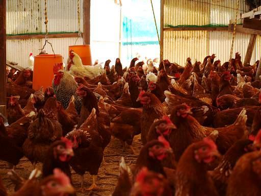 鮮明な鶏舎.JPG