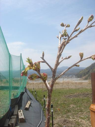 ようやく桜開花.JPG