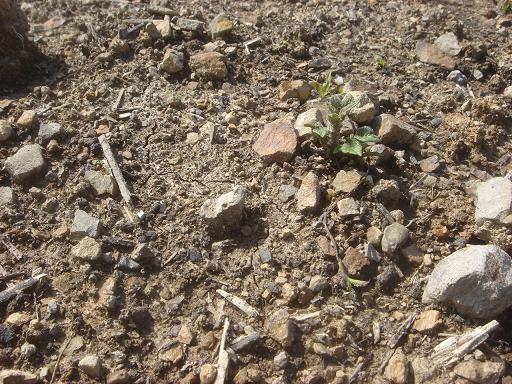 ジャガイモの芽.JPG