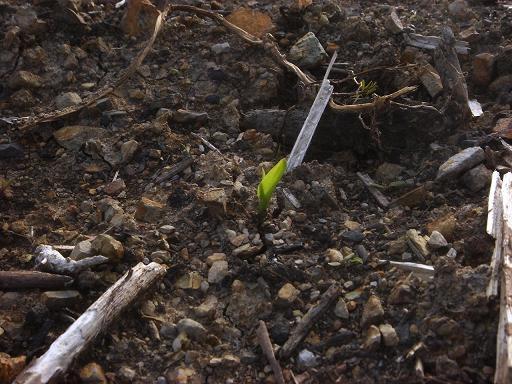 トウモロコシの芽.JPG