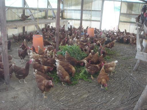 鶏さん達が.JPG