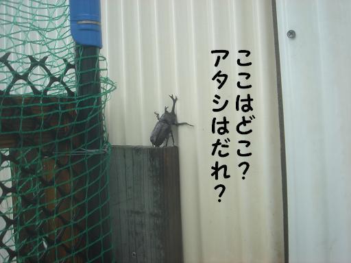 カブトムシ.JPG