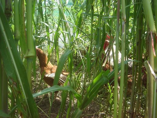 牧草の密林の中.JPG