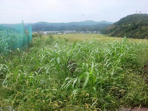 畑の草.JPG