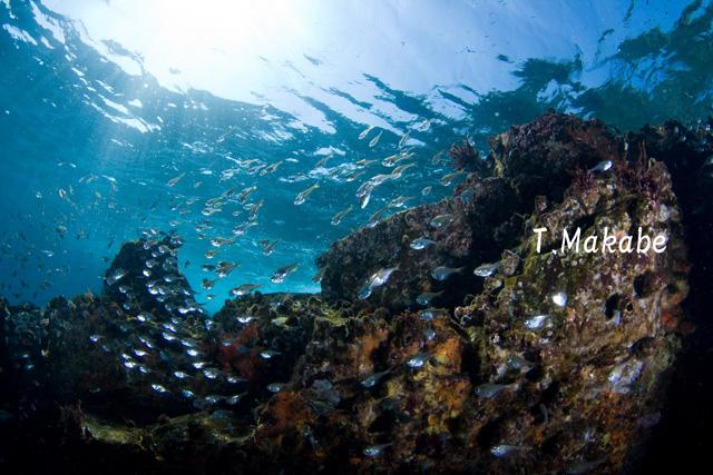 伊豆海洋公園のミナミハタンポ