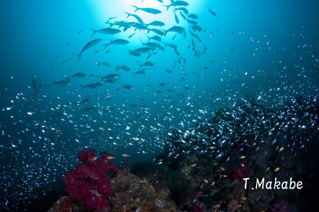 伊豆海洋公園・ツムブリの群れ