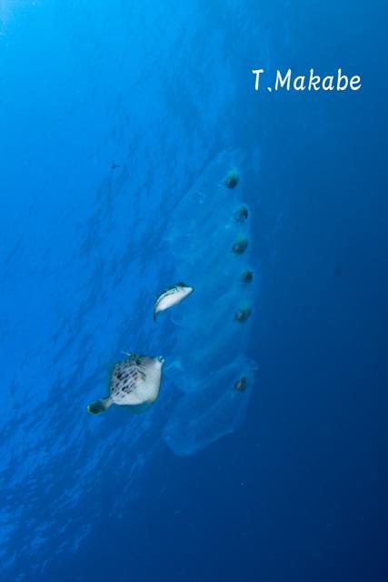 伊豆海洋公園のサルパ