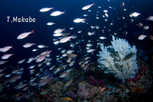 伊豆海洋公園のネンブツダイの群れ
