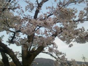 2503sakura_convert_20130402141910.jpg
