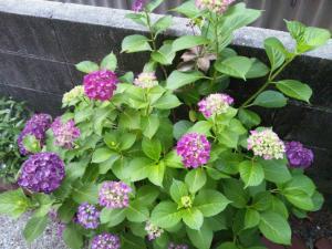 2506ajisai_convert_20130608184624.jpg