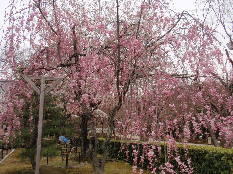 智積院・桜