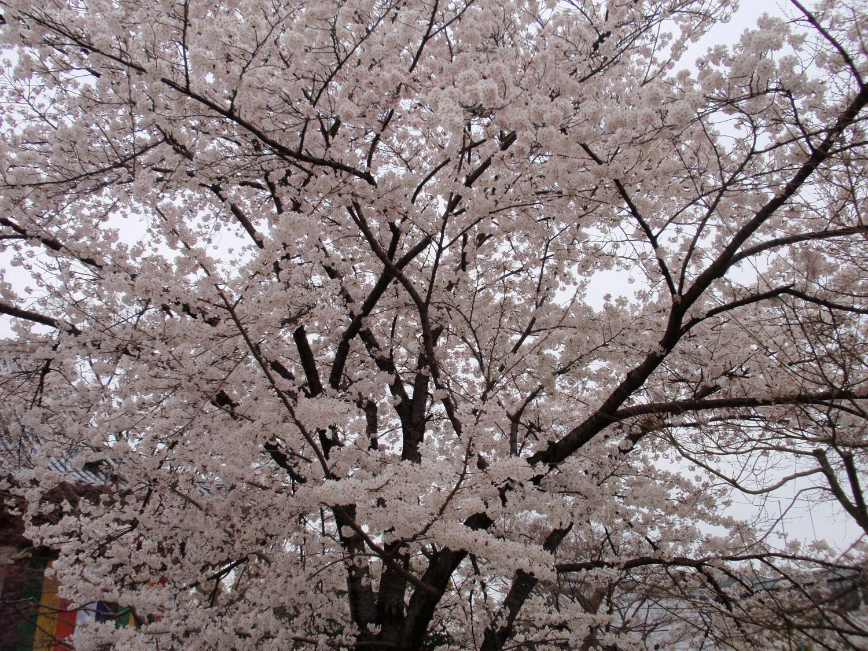 智積院・桜2