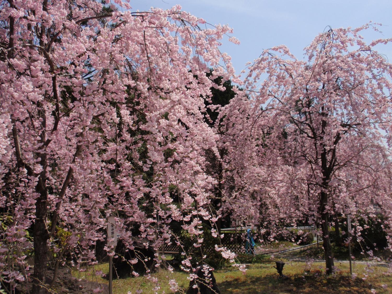 妙満寺・桜園2