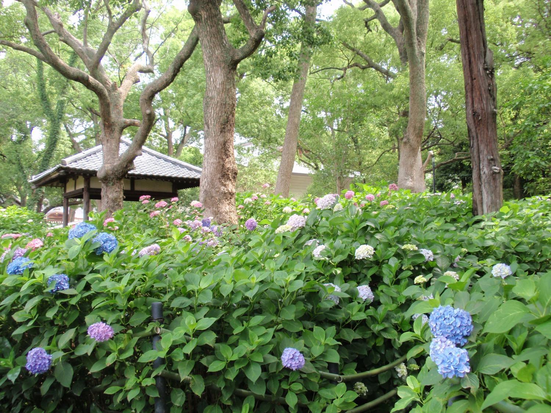 藤森神社・紫陽花苑2