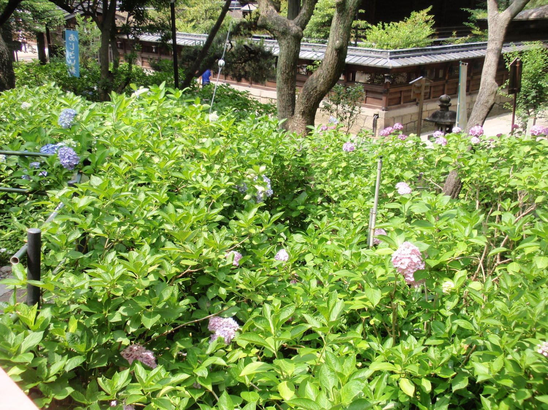 藤森神社・紫陽花苑3