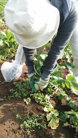 大根収穫①2013.11.01