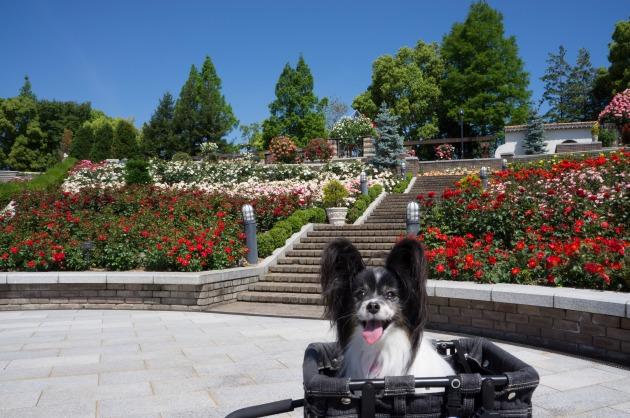 【速報!】荒牧バラ公園-006