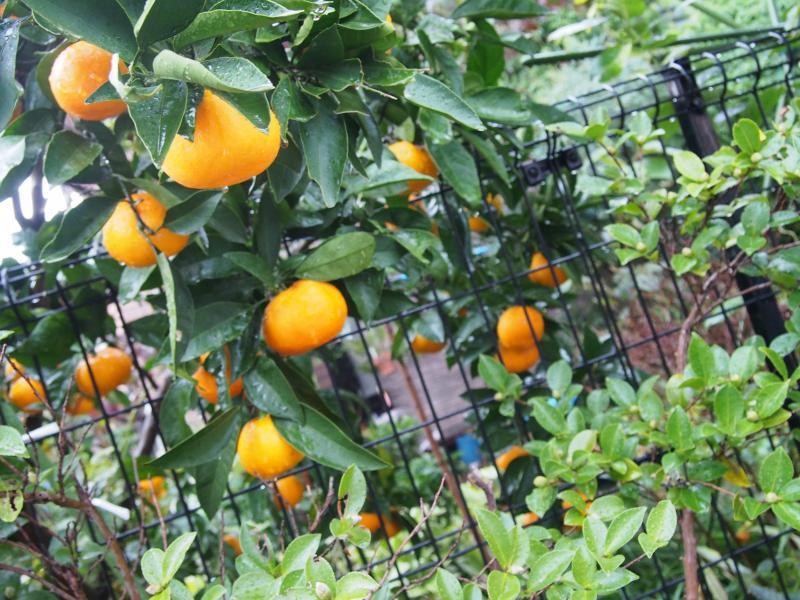 オレンジ談義