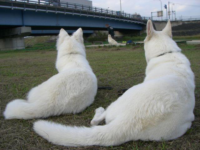 ★アブー★の訓練を見守る2匹★リサ★と★レオン★