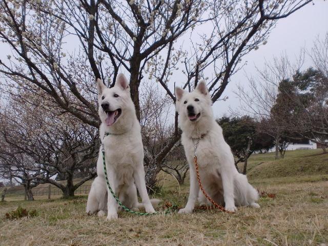 ホワイトスイスシェパード★レオン★と★リサ★