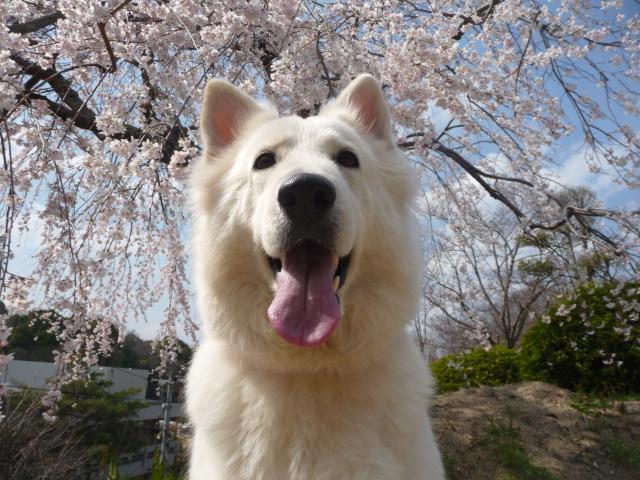 桜の花と★リサ★2013年春
