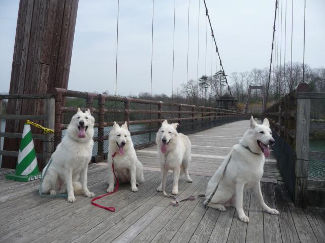ホワイトスイスシェパード4匹つどい橋の前で