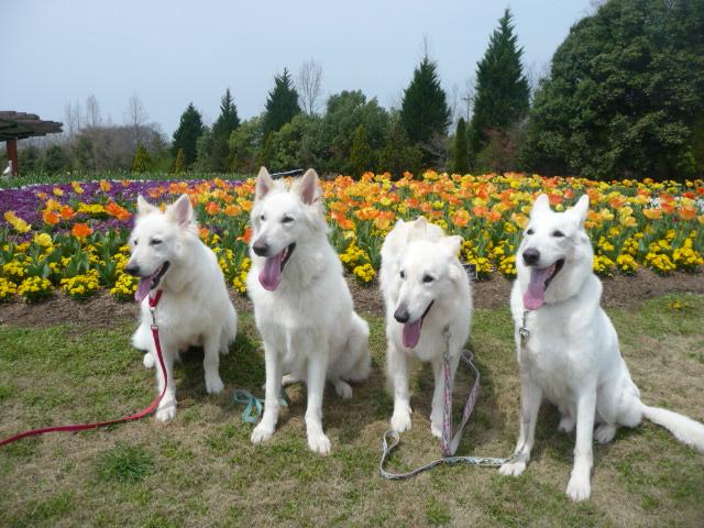 ホワイトスイスシェパード4匹と春の花