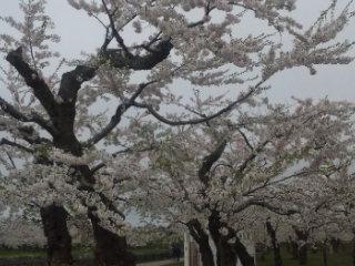 五稜郭公園 桜 満開