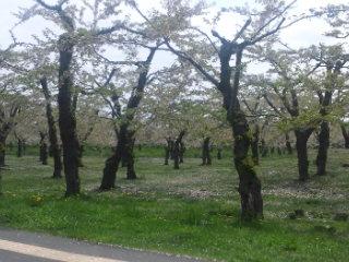 五稜郭公園 葉桜