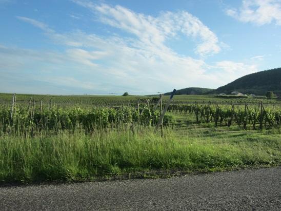 郊外のブドウ畑 1