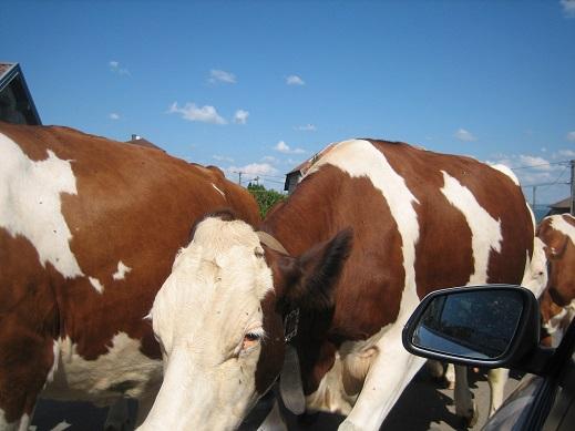 山道ですれ違った牛