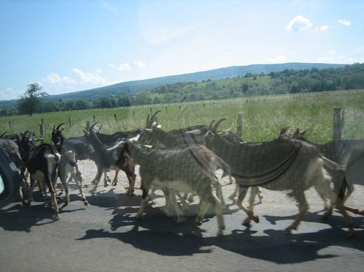 道路を歩くヤギ達