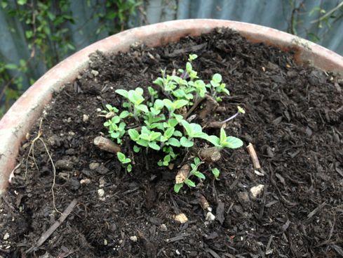 鉢植えAPS新芽