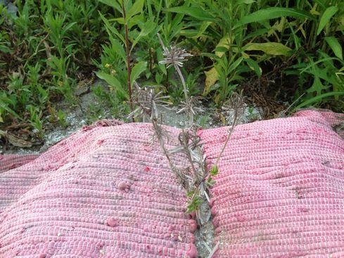 枯れかけ春植えのおかむらさき
