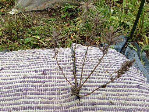 枯れた秋植えのおかむらさき