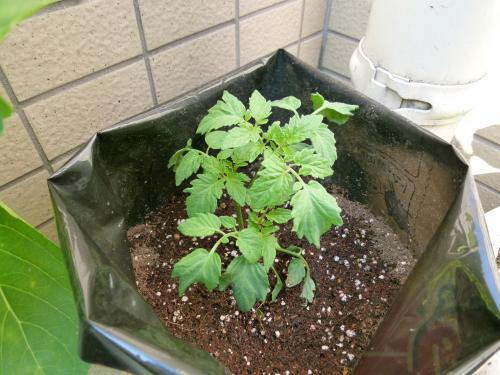 フルーツトマト植え付け