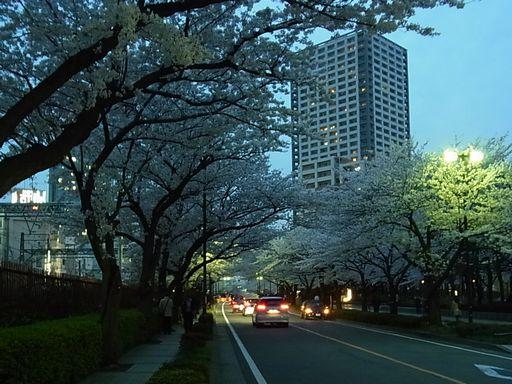 20130326 川崎桜 (1)