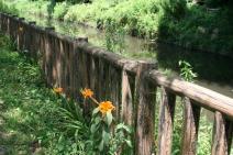 見沼代用水とヤブカンゾウの写真