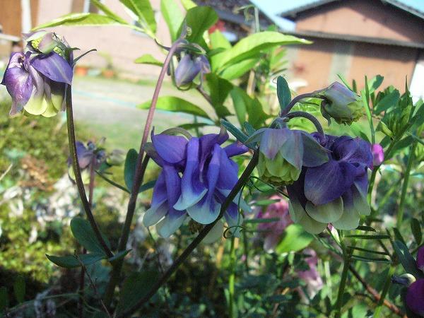 オダマキ紫