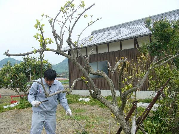 弱っている柿の木25.4.28