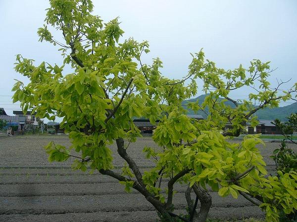 元気な柿の木25.4.28