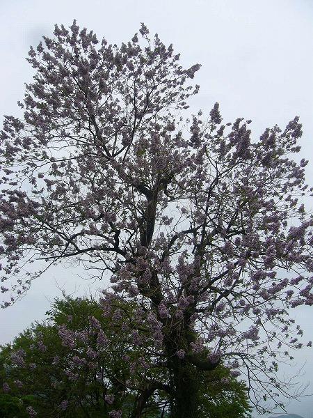 立派な桐の樹