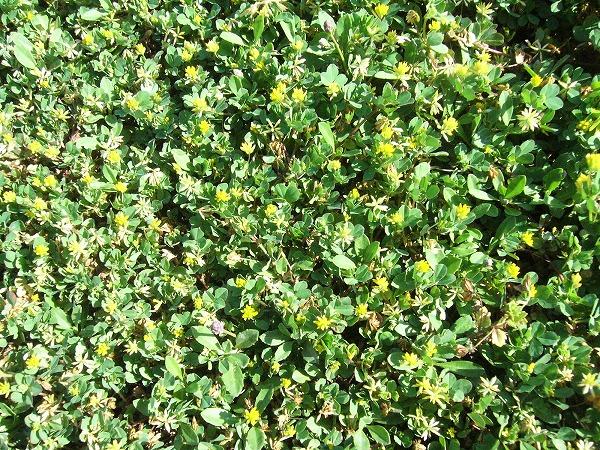 雑草金平糖の様な花