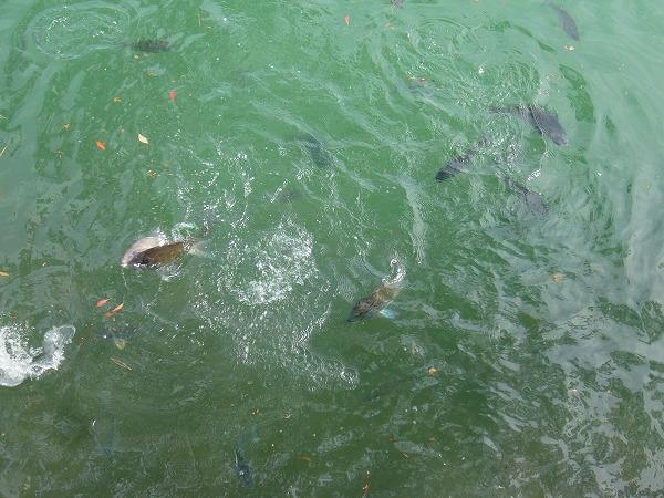 鯛が泳いでる城内の堀
