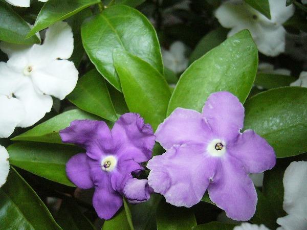 マツリカの花青紫