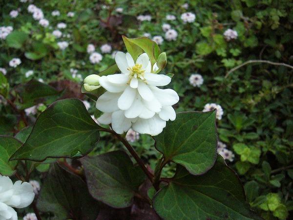 ドクダミの花と姫岩垂草