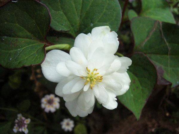 ドクダミの花上から撮影