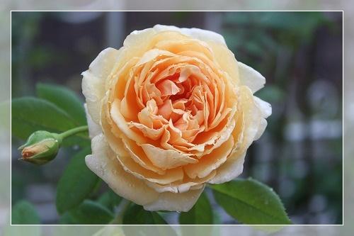 s-0901クラウン・プリンセス・マルガリータIMG_9833