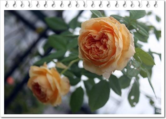 s-0904クラウン・プリンセス・マルガリータIMG_9871