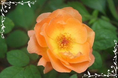 s-1009レディ・エマ・ハミルトンIMG_6831